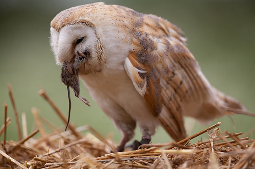 What owls eat owls for Do owls eat fish